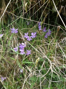 On the slopes of the fells wild violets grow.