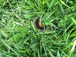 """""""Woolly  bear"""" - the now rare to see Garden Tiger Moth caterpillar."""