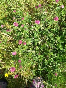 Pink clover, evidence of farming practice for herbal meadow for cattle.
