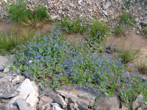 Bright blue speedwell shares the drying ditch with tadpoles