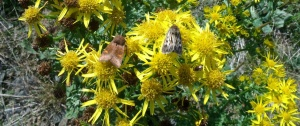 Ear and antler moth on ragwort