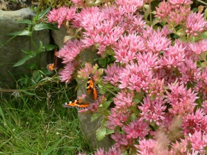 Small Tortoiseshell butterfly on a sedum