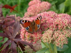 Peacock butterfly on autumn glory sedum