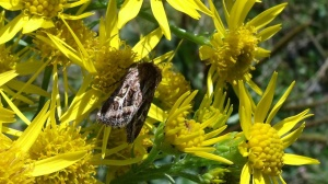 Haworth's Minor moth on ragwort