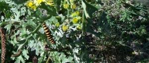 Cinnabar moth larvae on ragwort