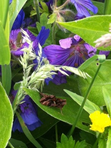 Beautiful Golden Y moth on cranesbill geranium
