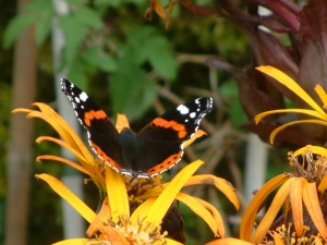 Red Admiral in yellow ligularia daisy